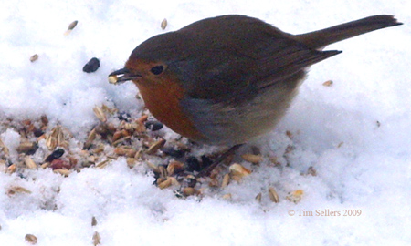robin eating in snow